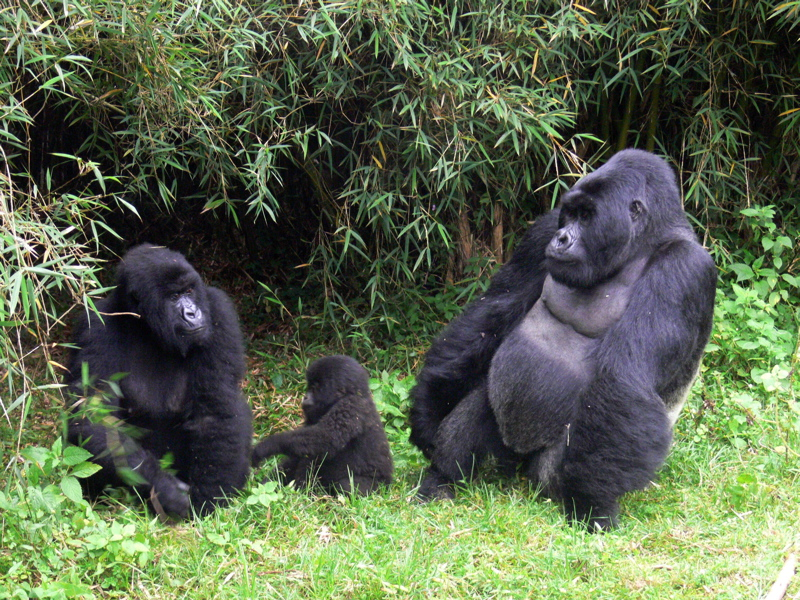 Gorilla Fighting Other Animals Snares for other animals.